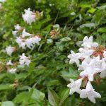 ガーデン用品屋さんの花図鑑 アベロン