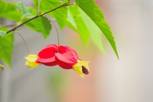 ガーデン用品屋さんの花図鑑 アブチロン