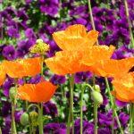 ガーデン用品屋さんの花図鑑 アイスランドポピー