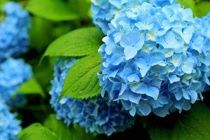 ガーデン用品屋さんの花図鑑 アジサイ