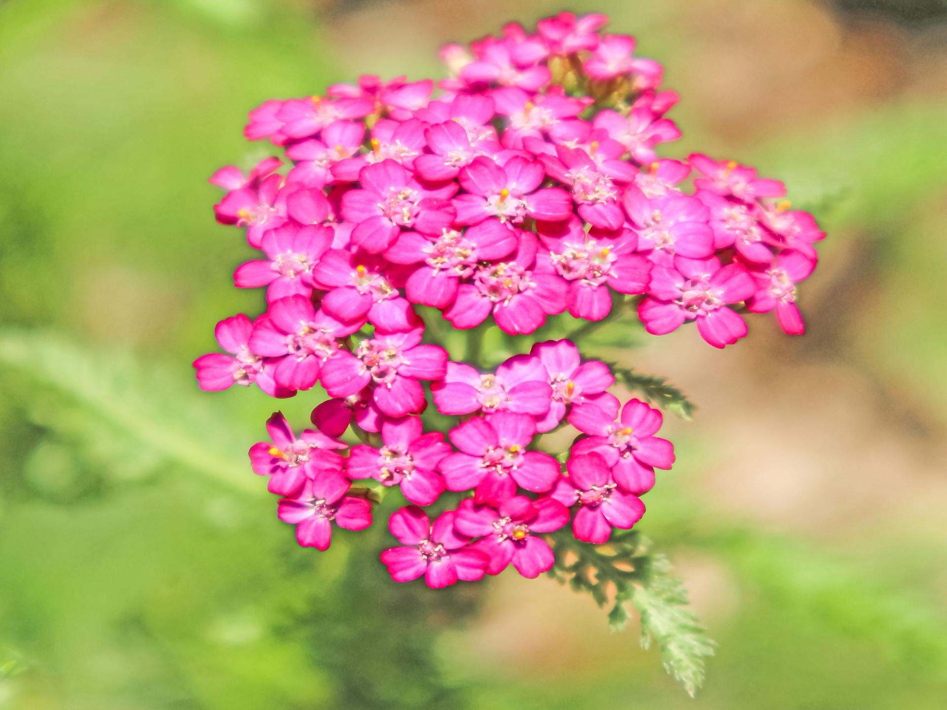ガーデン用品屋さんの花図鑑 アキレア