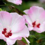ガーデン用品屋さんの花図鑑 アメリカフヨウ