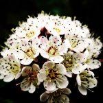 ガーデン用品屋さんの花図鑑 アメリカテマリシモツケ