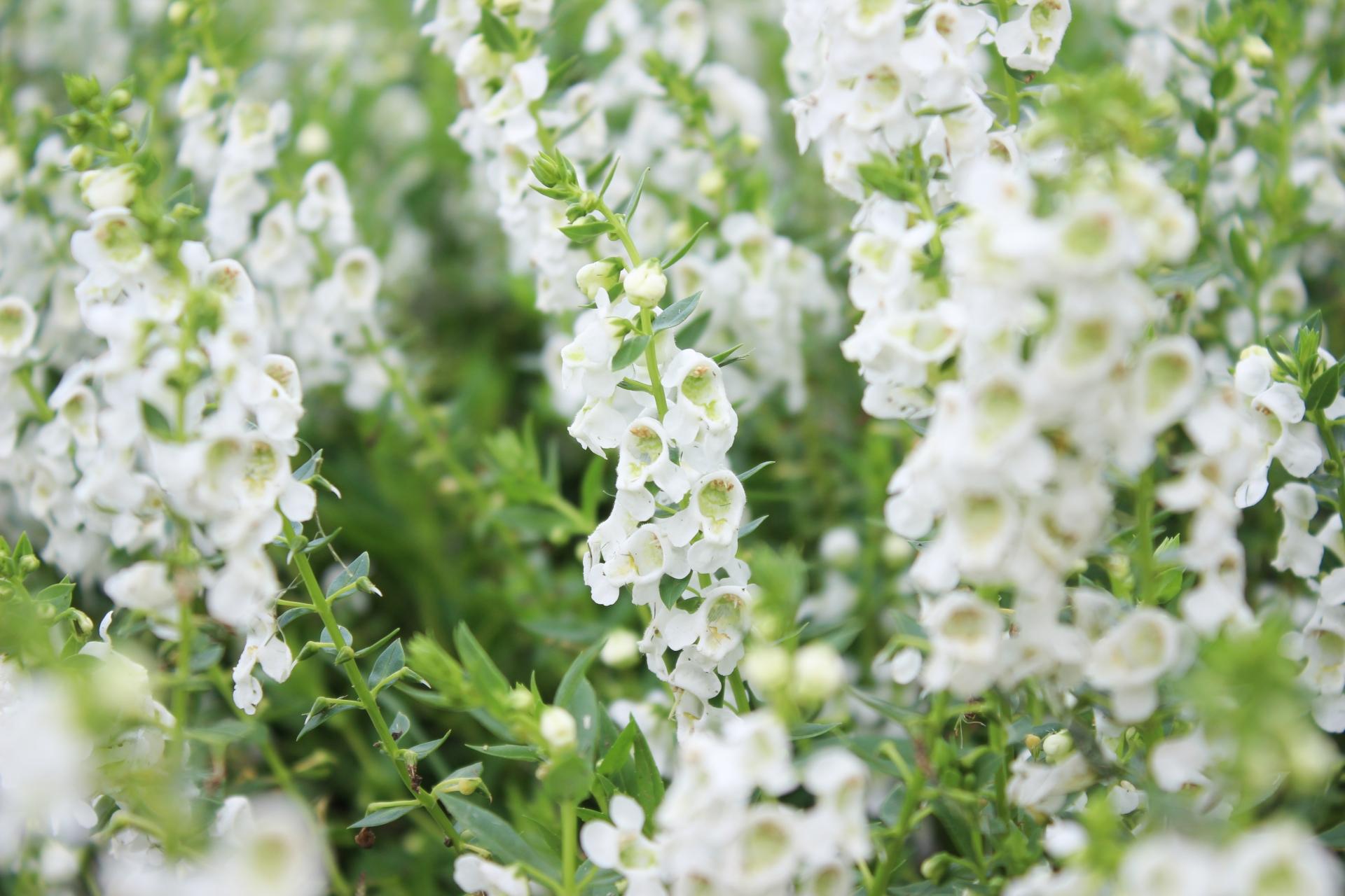 ガーデン用品屋さんの花図鑑 アンゲロニア