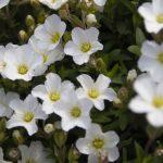 ガーデン用品屋さんの花図鑑 アレナリア