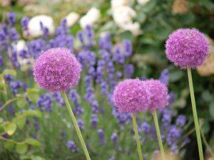 ガーデン用品屋さんの花図鑑 アリウム