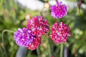 ガーデン用品屋さんの花図鑑 アルメリア