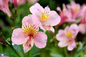 ガーデン用品屋さんの花図鑑 アルストロメリア