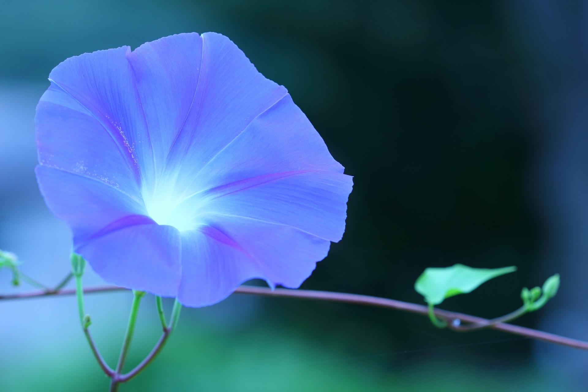 ガーデン用品屋さんの花図鑑 アサガオ