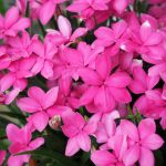 ガーデン用品屋さんの花図鑑 アッツザクラ(ロードピポキシス)