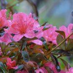 ガーデン用品屋さんの花図鑑 アザレア