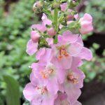 ガーデン用品屋さんの花図鑑 バーバスカム