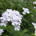 ガーデン用品屋さんの花図鑑 バーベナ