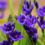 ガーデン用品屋さんの花図鑑 バビアナ