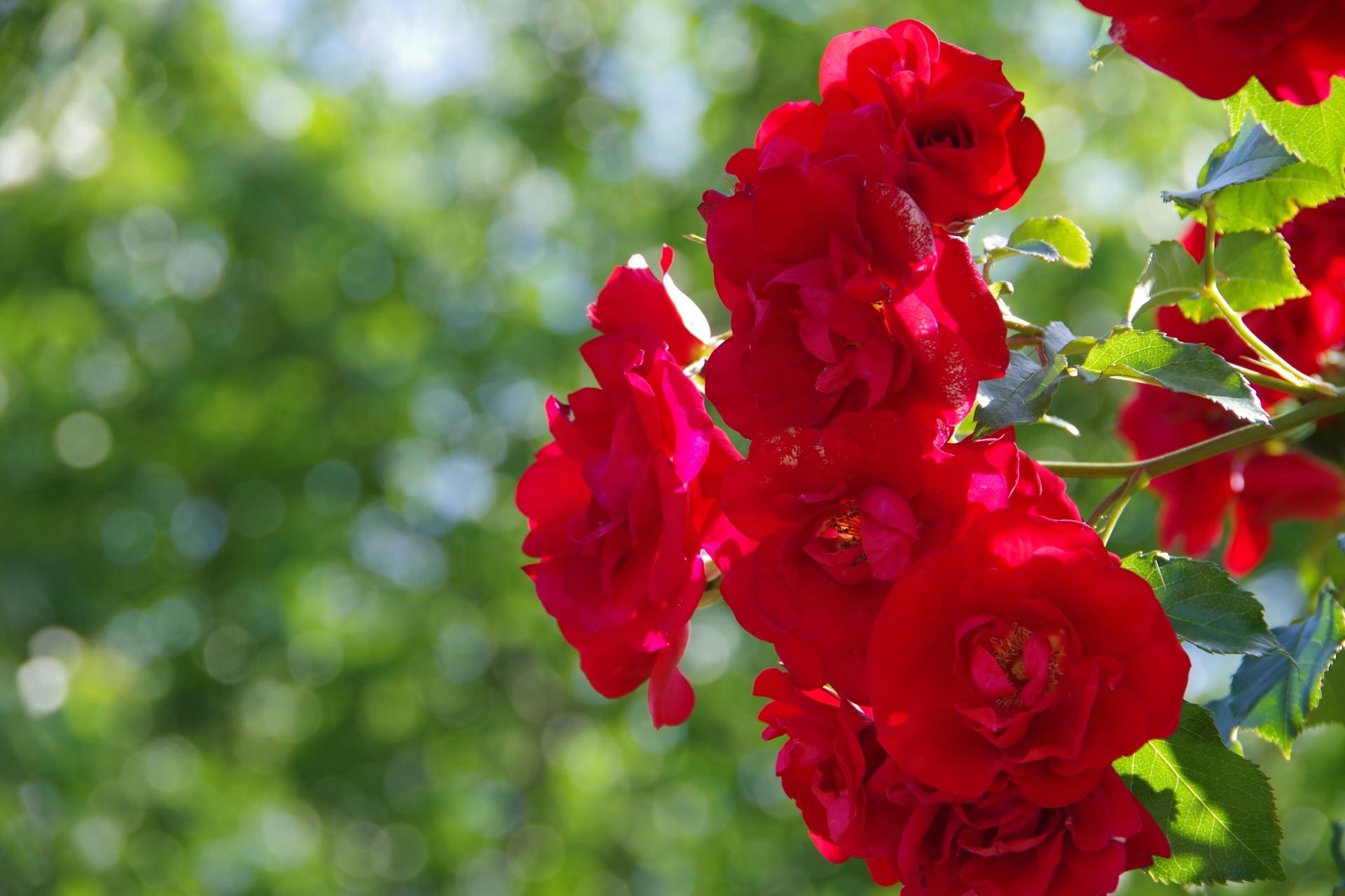ガーデン用品屋さんの花図鑑 バラ