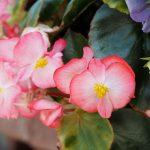ガーデン用品屋さんの花図鑑 ベコニア・センパフローレンス