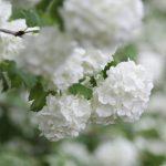 ガーデン用品屋さんの花図鑑 ビバーナム