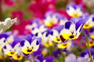 ガーデン用品屋さんの花図鑑 ビオラ