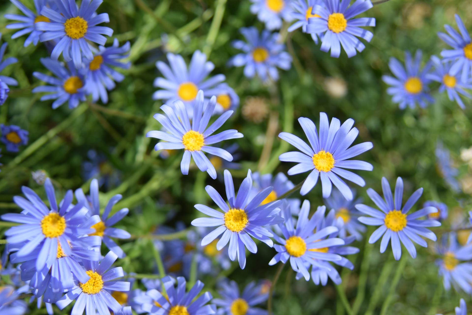 ガーデン用品屋さんの花図鑑 ブルーデージー