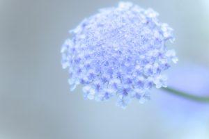 ガーデン用品屋さんの花図鑑 ブルーレースフラワー