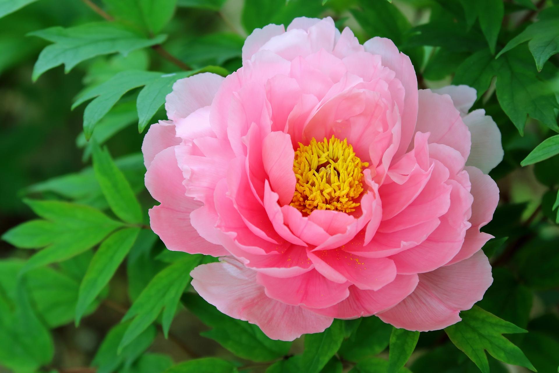 ガーデン用品屋さんの花図鑑 ボタン