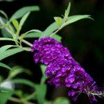 ガーデン用品屋さんの花図鑑 ブッドレア