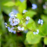 ガーデン用品屋さんの花図鑑 ブルンネラ