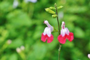 ガーデン用品屋さんの花図鑑 チェリーセージ