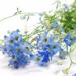 ガーデン用品屋さんの花図鑑 チドリソウ