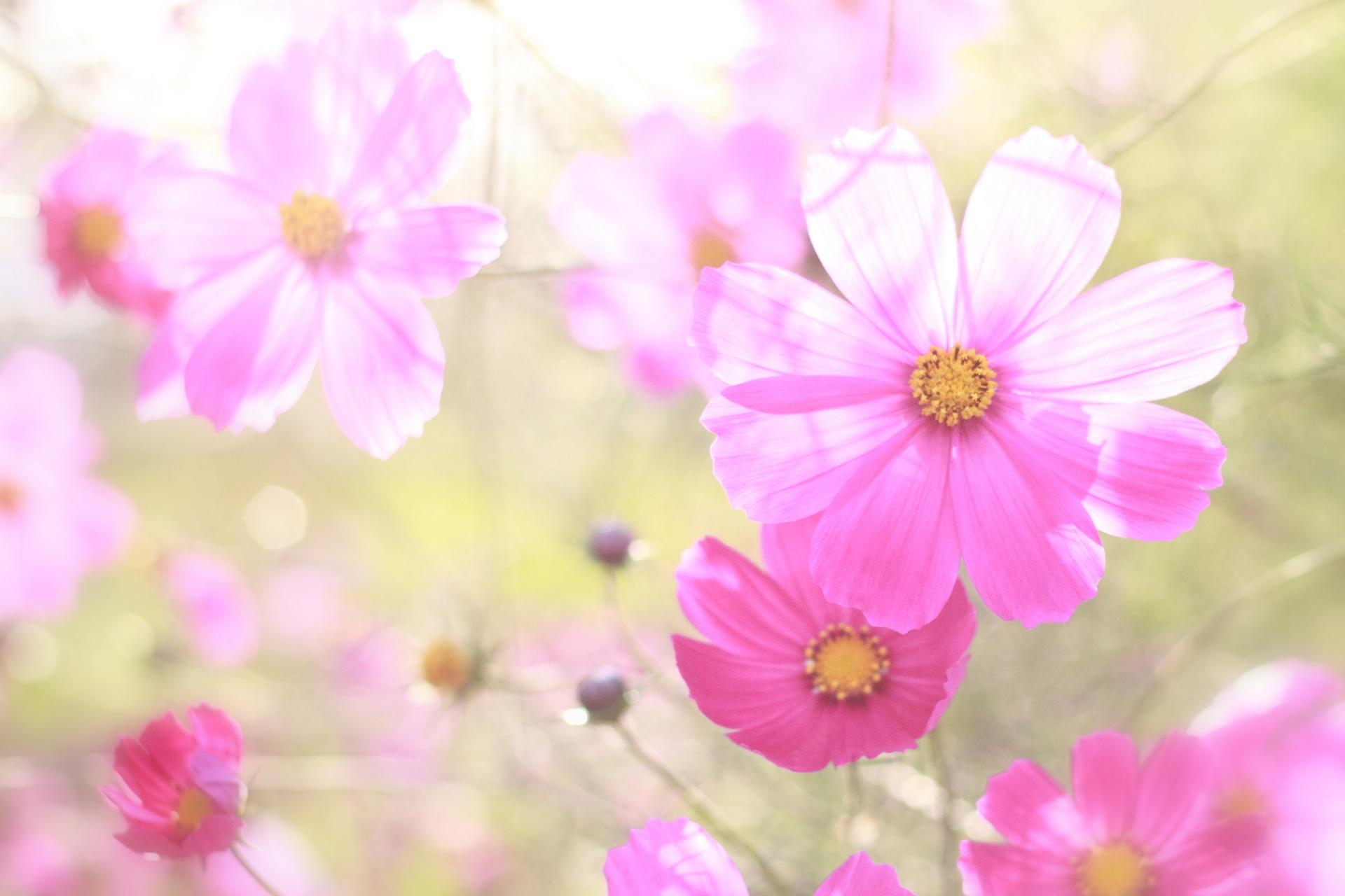 ガーデン用品屋さんの花図鑑 コスモス