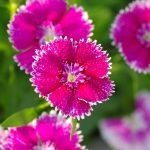 ガーデン用品屋さんの花図鑑 ダイアンサス