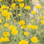 ガーデン用品屋さんの花図鑑 ダイヤーズカモミール