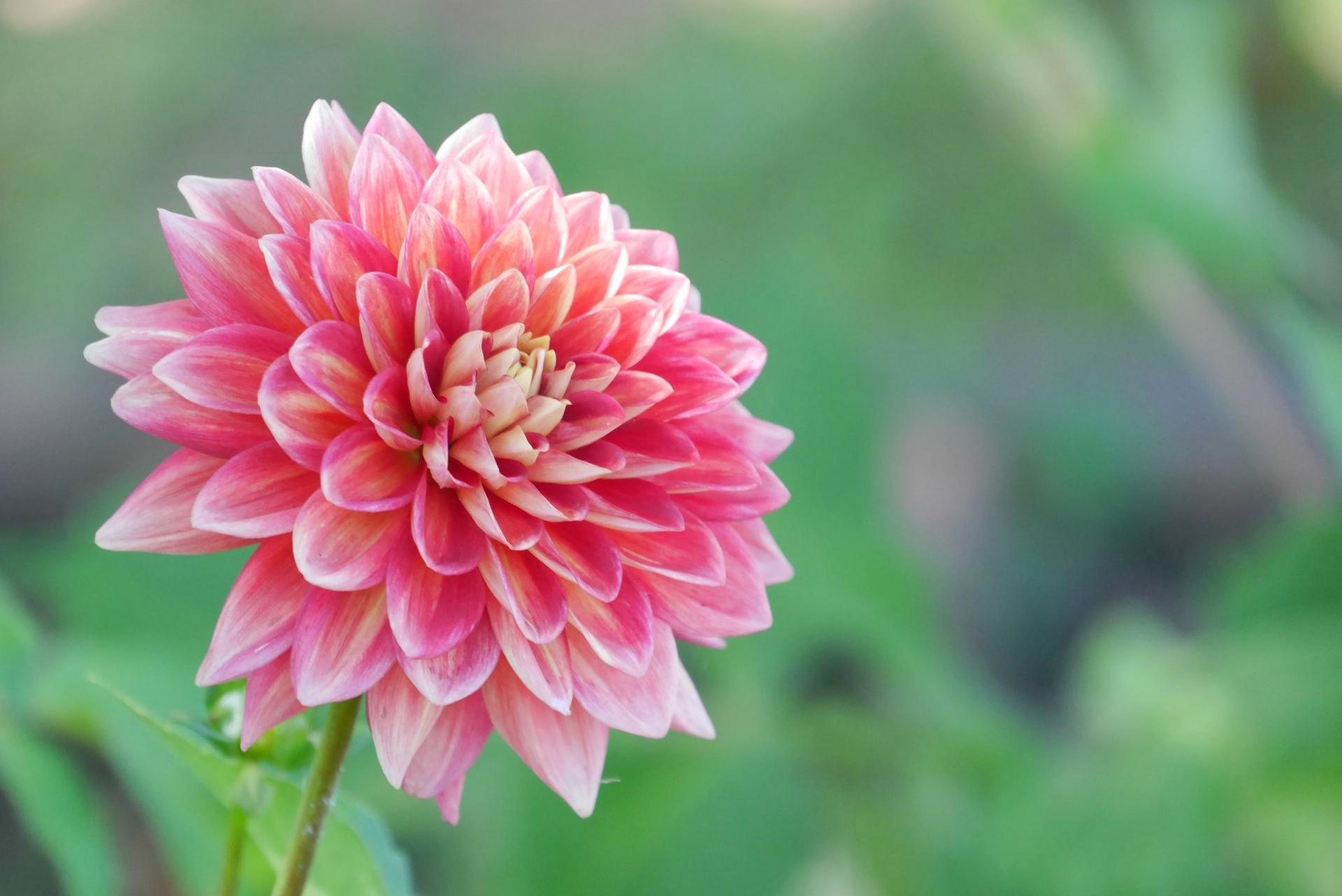 ガーデン用品屋さんの花図鑑 ダリア