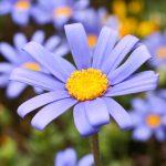 ガーデン用品屋さんの花図鑑 デージー