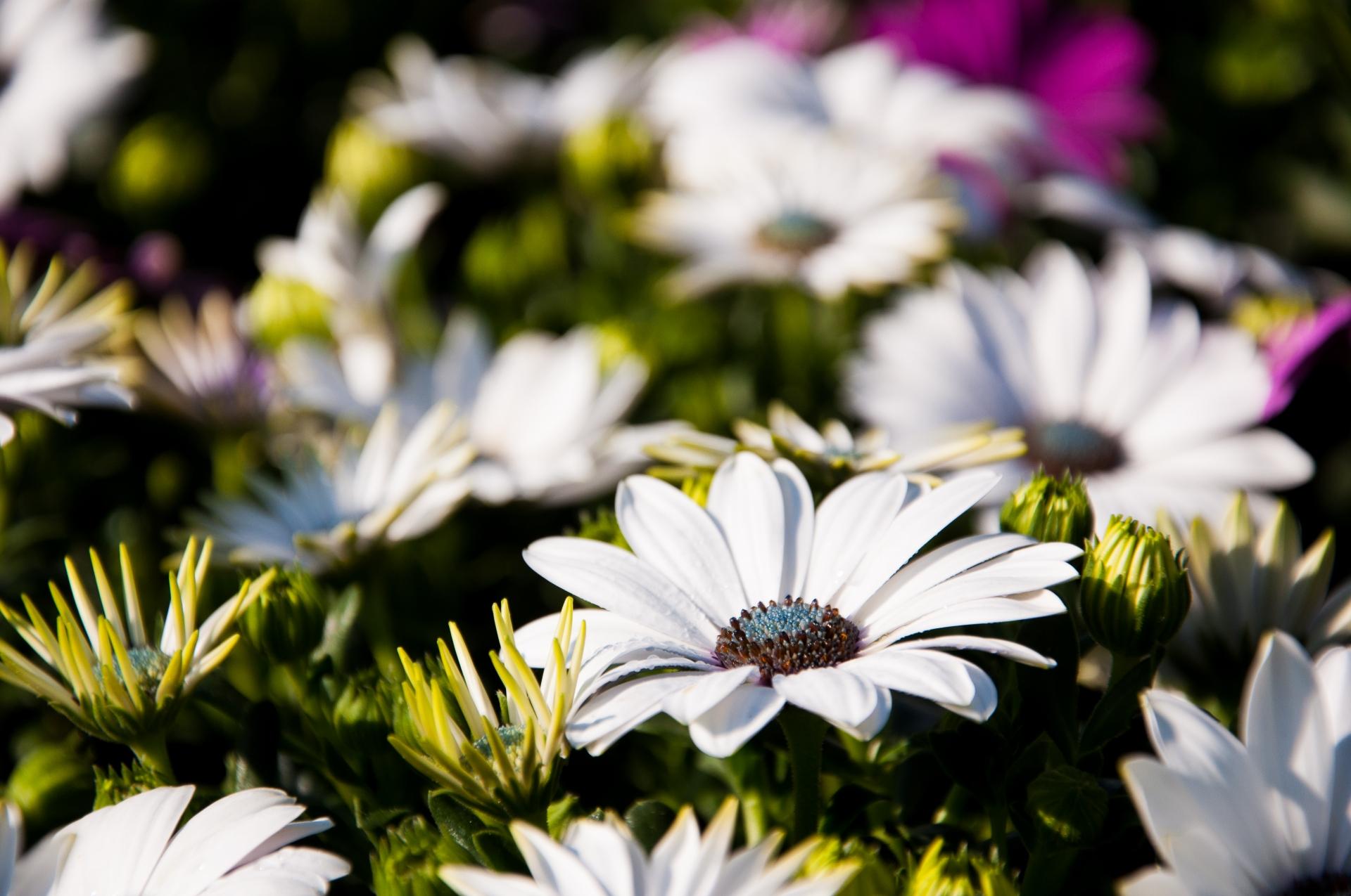 ガーデン用品屋さんの花図鑑 ディモルフォセカ
