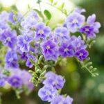 ガーデン用品屋さんの花図鑑 デュランタ