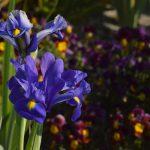 ガーデン用品屋さんの花図鑑 ダッチアイリス