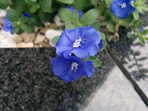 ガーデン用品屋さんの花図鑑 エボルブルス
