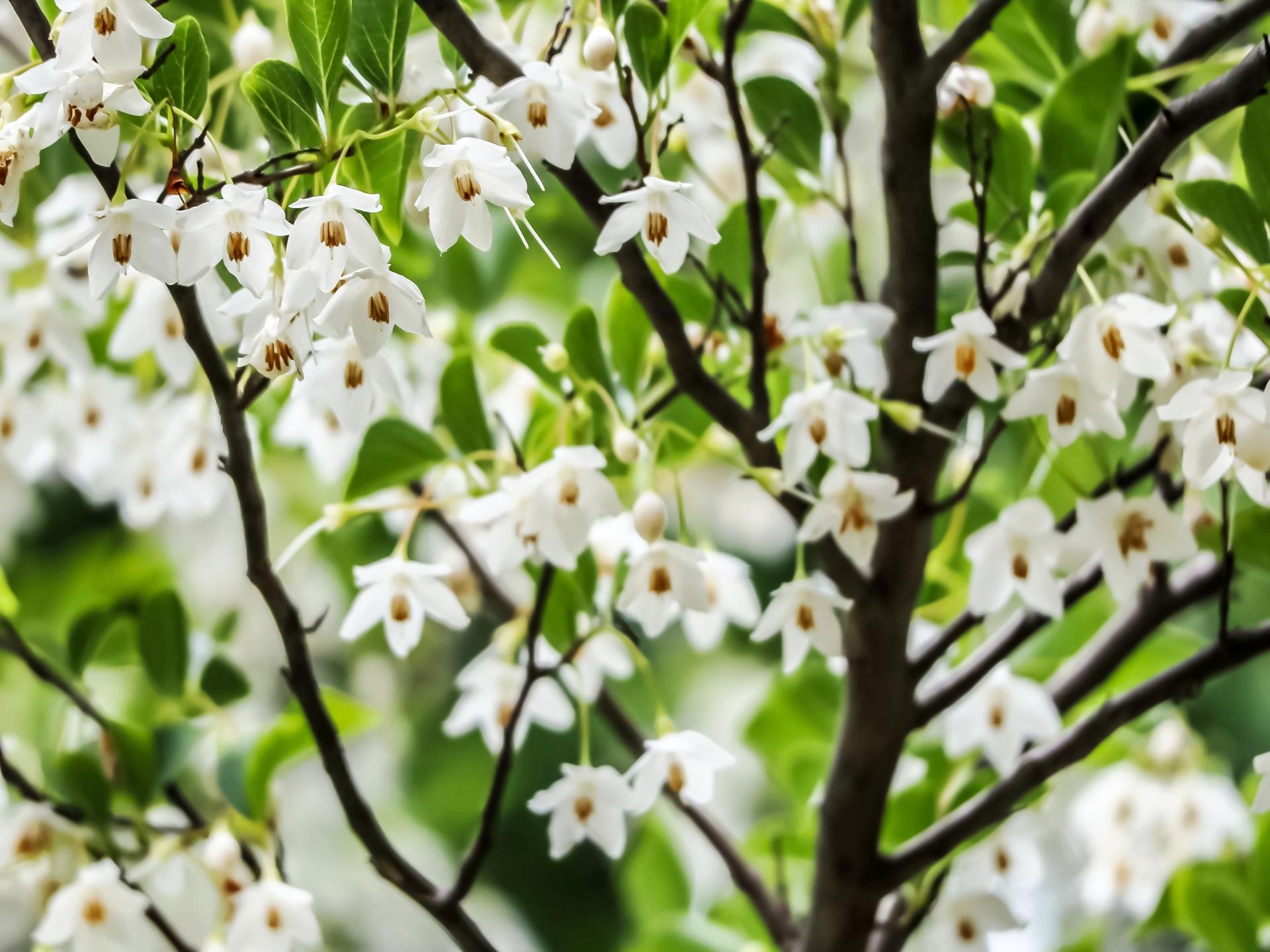 ガーデン用品屋さんの花図鑑 エゴノキ
