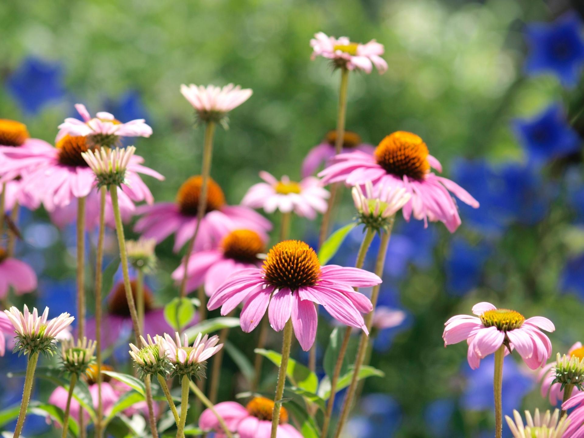 ガーデン用品屋さんの花図鑑 エキナセア