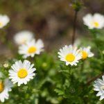 ガーデン用品屋さんの花図鑑 イングリッシュデイジー