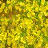 ガーデン用品屋さんの花図鑑 エニシダ