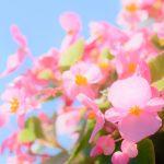 ガーデン用品屋さんの花図鑑 エラチオール・ベゴニア