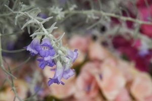 ガーデン用品屋さんの花図鑑 エレモフィラ ニベア