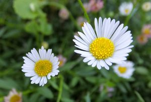 ガーデン用品屋さんの花図鑑 エリゲロン