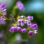 ガーデン用品屋さんの花図鑑 エリカ