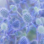 ガーデン用品屋さんの花図鑑 エリンジウム