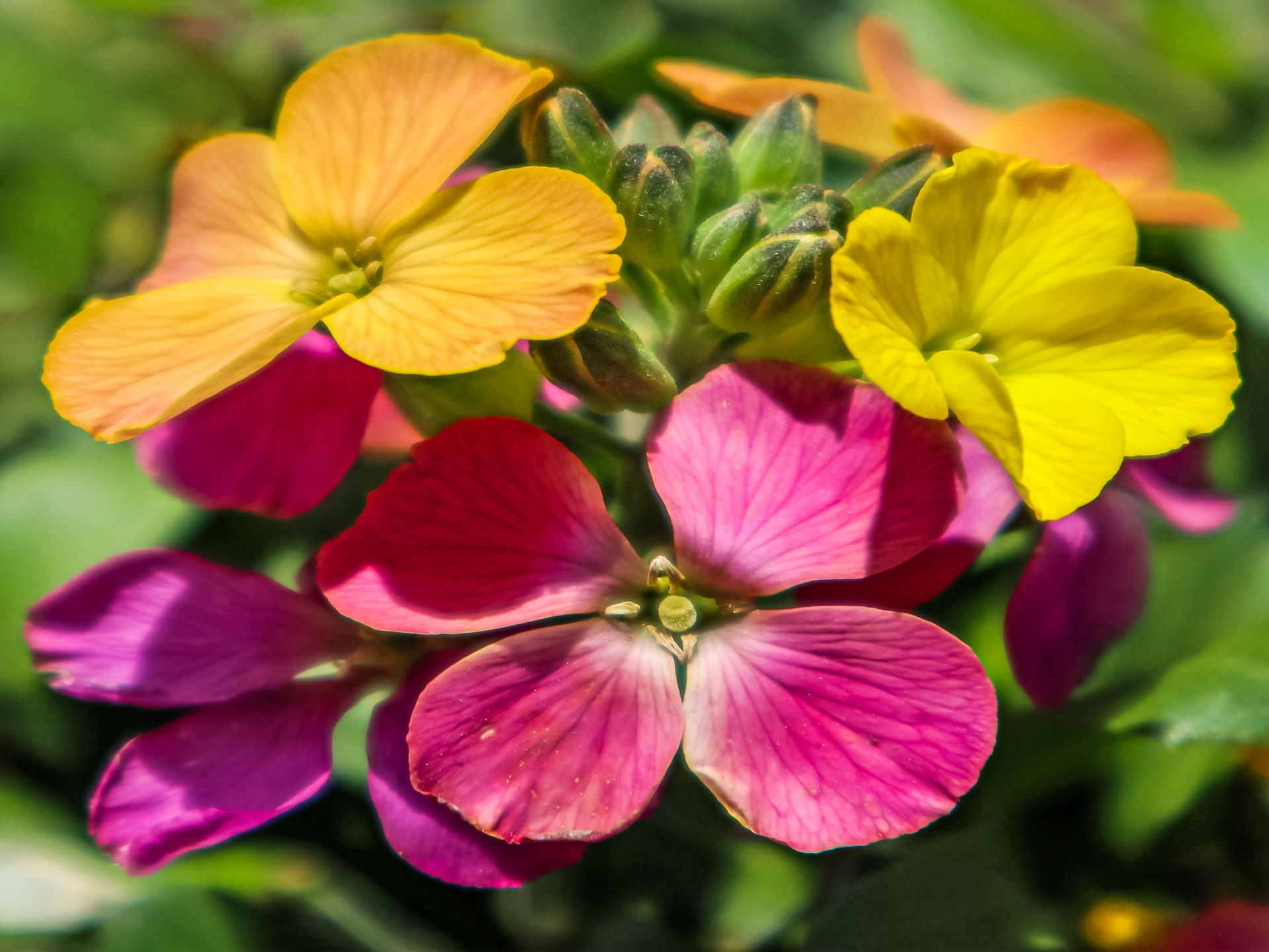 ガーデン用品屋さんの花図鑑 エリシマム