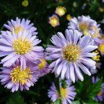 ガーデン用品屋さんの花図鑑 エゾギク