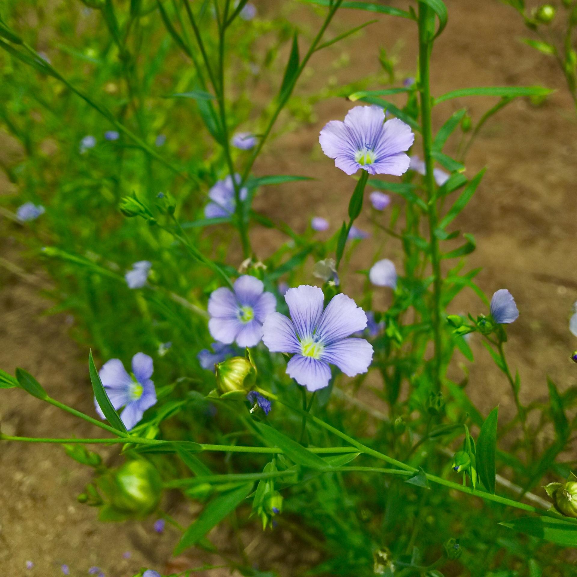 ガーデン用品屋さんの花図鑑 フラックス